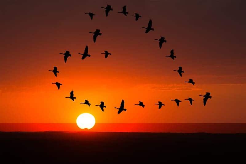 geese flying in a heart shape